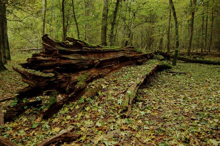 ビャウォヴィエジャの森 | ポーランドとべラルーシの国境にまたがる世界遺産