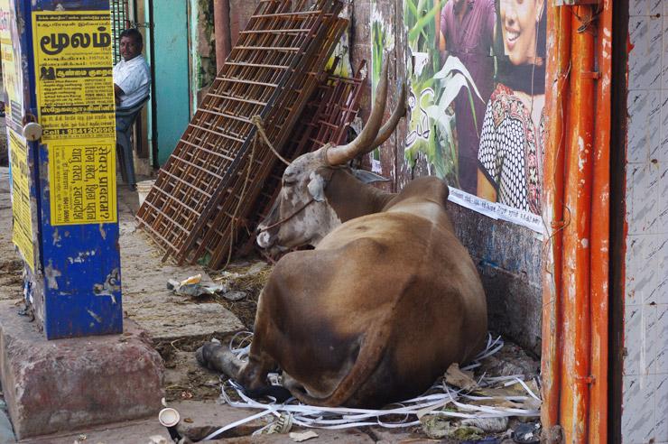 チェンナイの野良牛