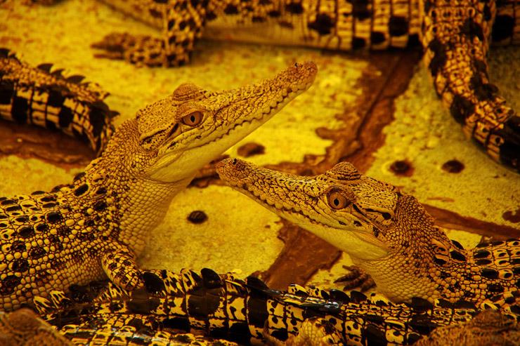 パラワンのクロコダイルファーム