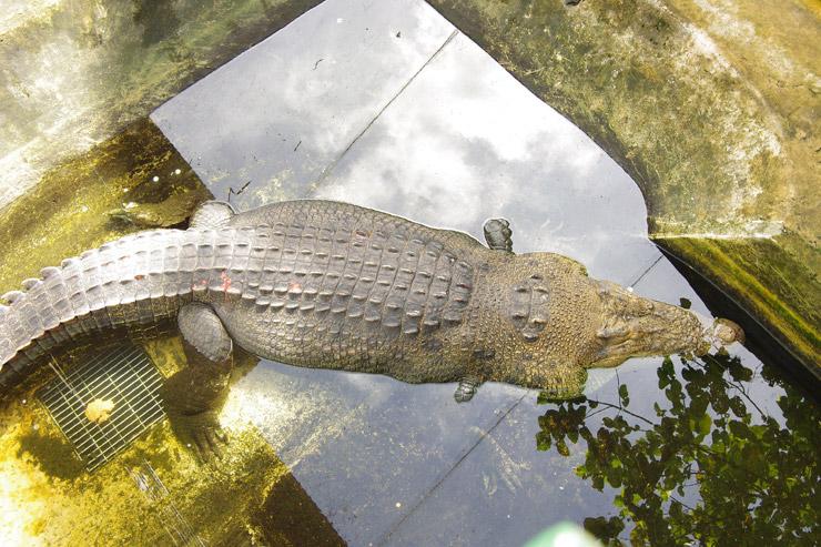 パラワン島で捕獲されたクロコダイル