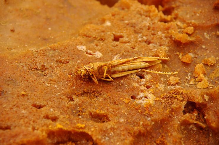 硫黄泉、バッタの死骸