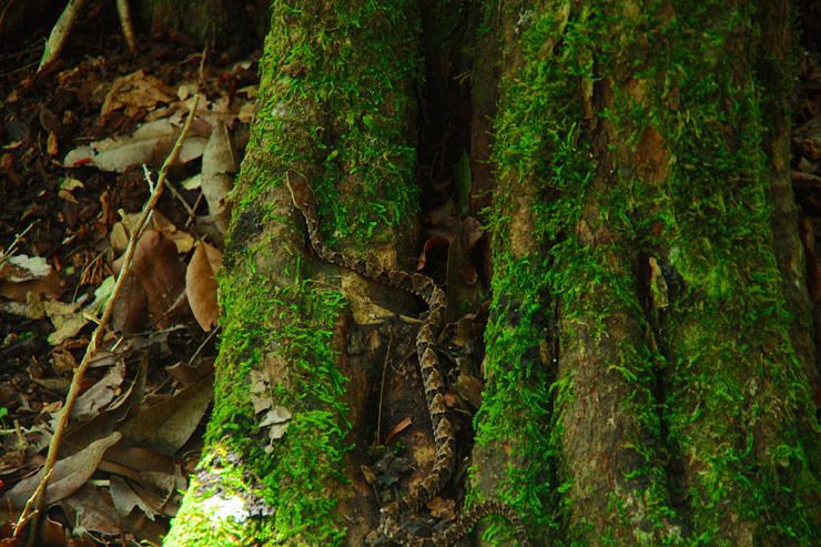 ジャングルに居た毒ヘビ