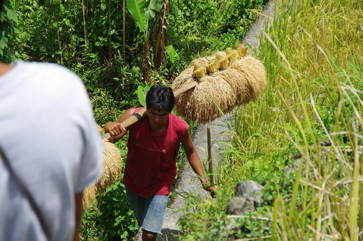 イフガオ族の収穫