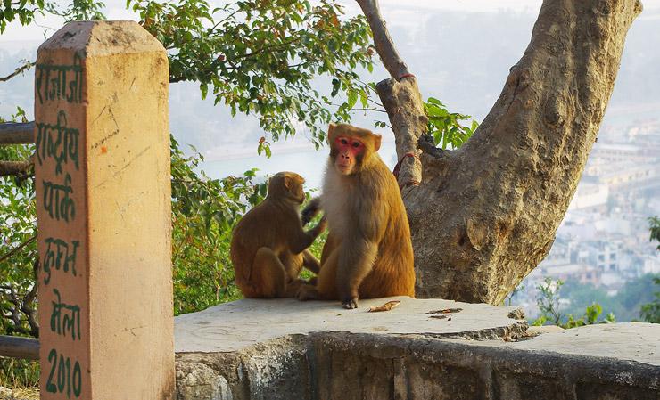 マンサー・デーヴィー寺院の猿