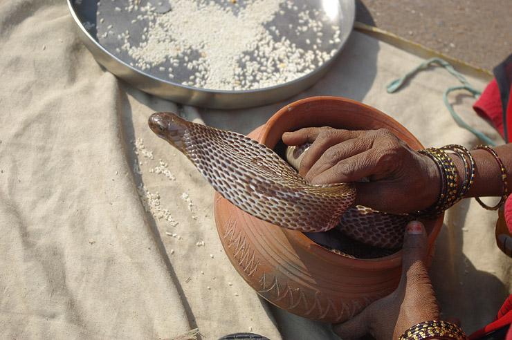 インドのキングコブラ