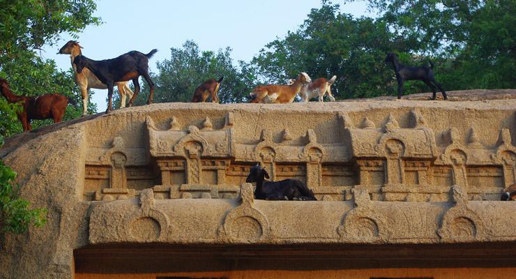 マハーバリプラムの世界遺産でくつろぐヤギ