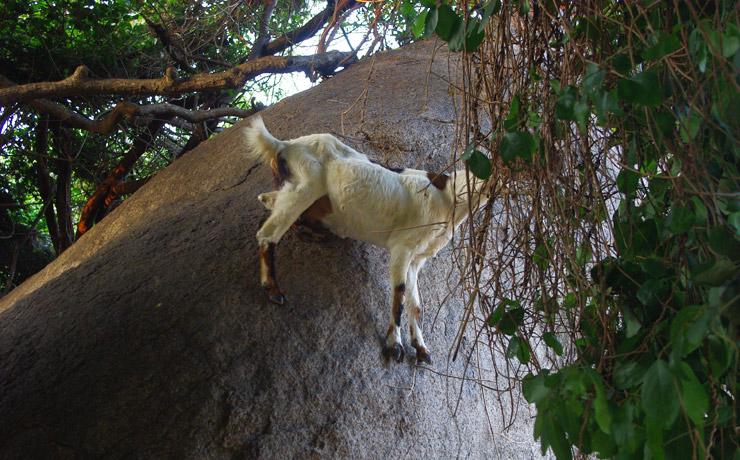 急な岩場でも平気なヤギ