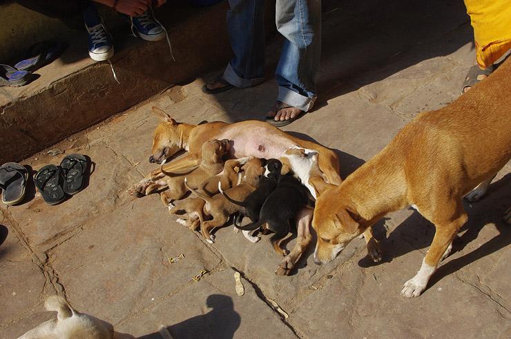 バラナシの路上で繁殖する犬