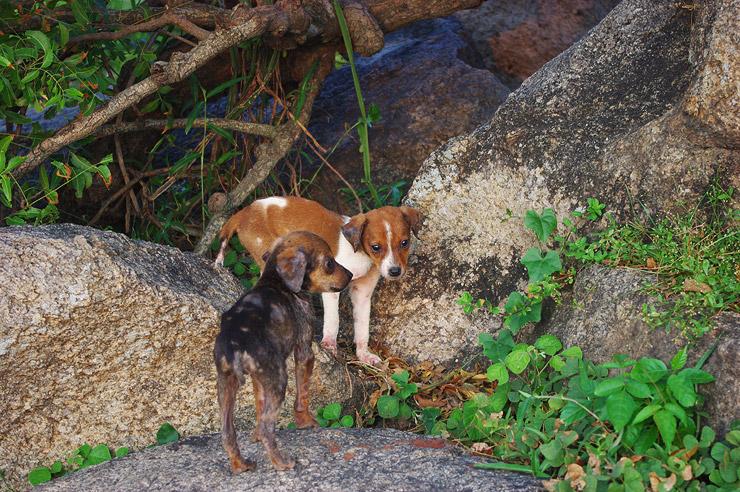 マハーバリプラムの子犬