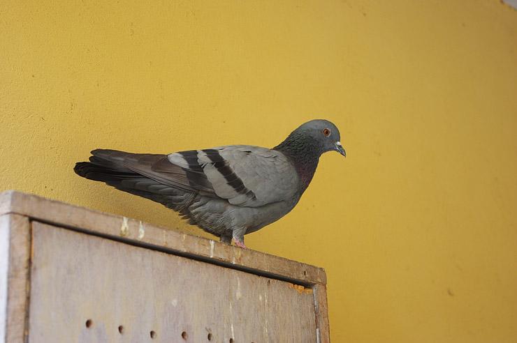 インドで見た鳩