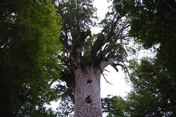 ワイポウア・カウリ・フォレスト(Waipoua Kauri Forest)