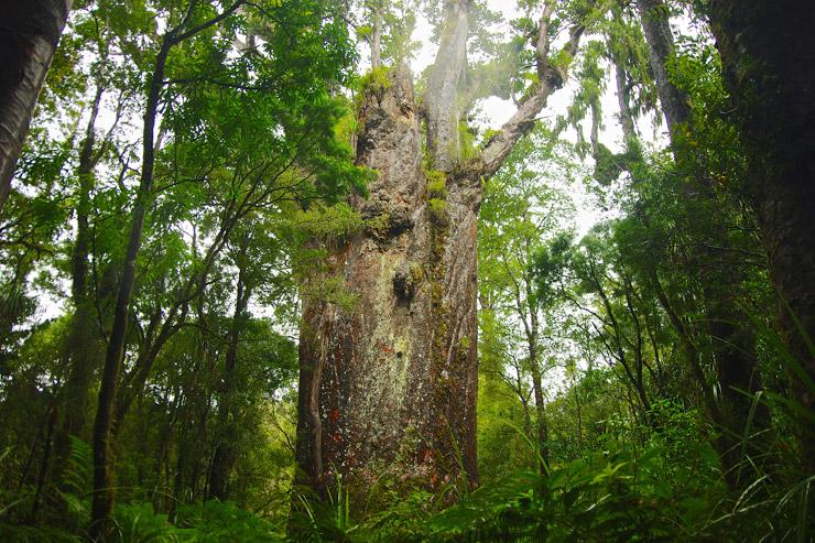 森の神がいると言う巨木の森『カウリ・コースト』