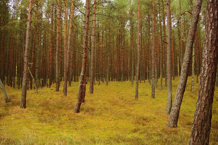 クルシュー砂州の森林