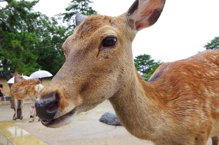 興福寺に居た鹿