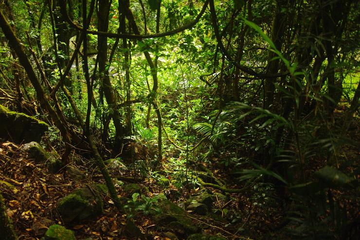 『オーストラリアのゴンドワナ雨林』