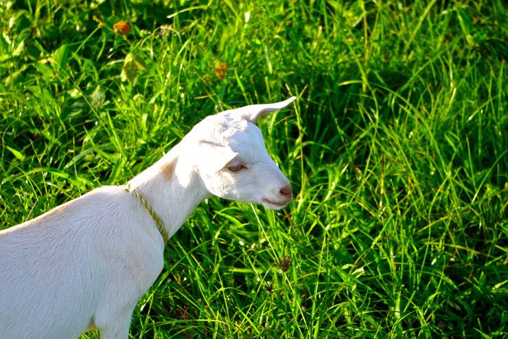 プエルトガレラのヤギ