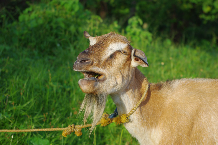 フィリピンにいたヤギ