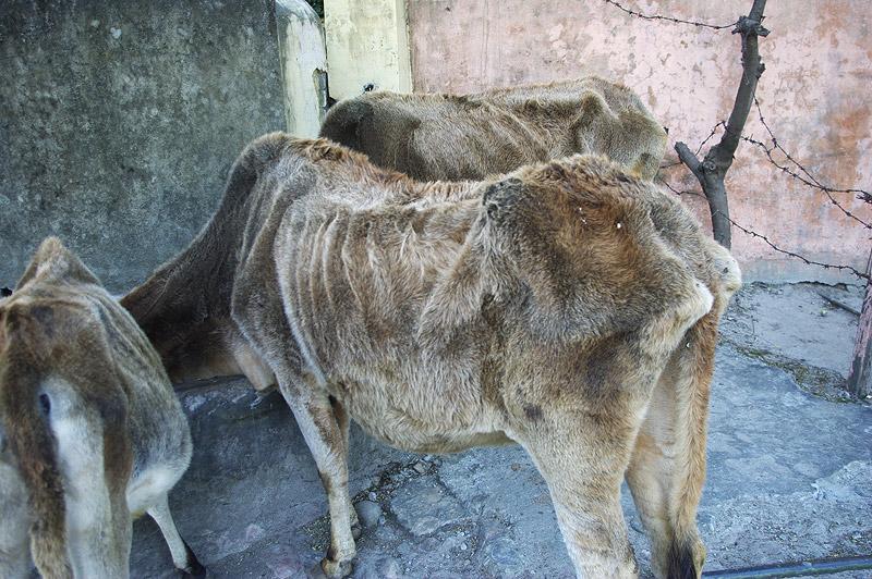 リシケシにいた牛