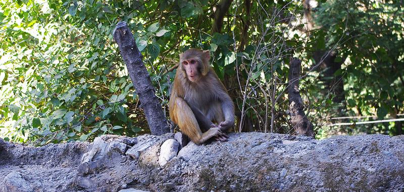 リシュケシュの猿