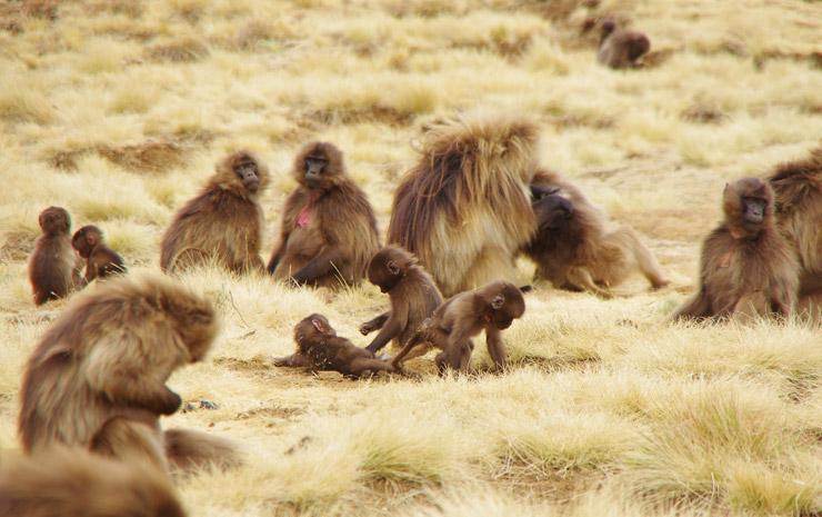 シミエン国立公園に居たヒヒ