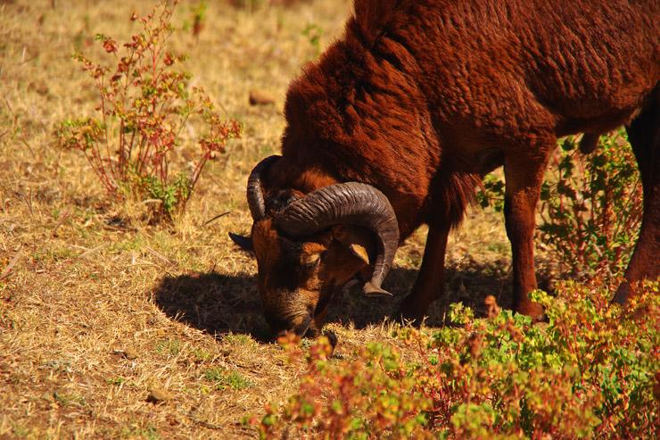 シミエン国立公園の動物