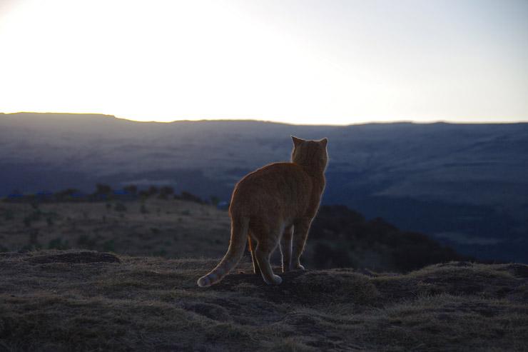 シミエン国立公園の猫