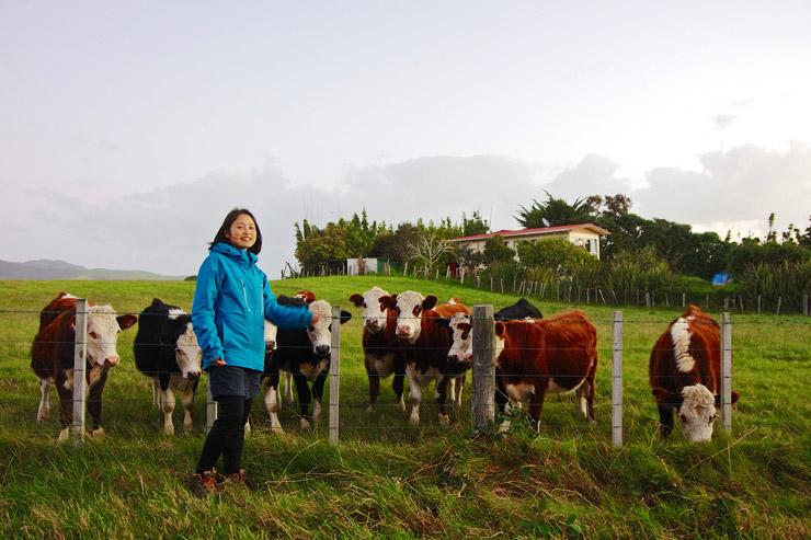 ニュージーランドの牛