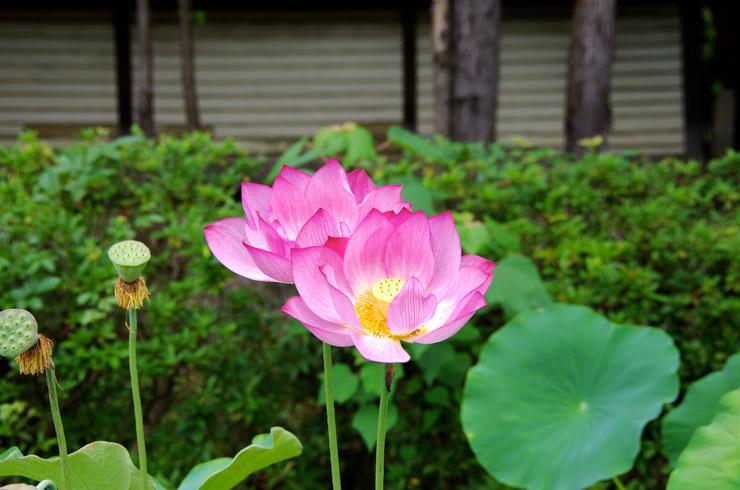 唐招提寺に咲く蓮の花
