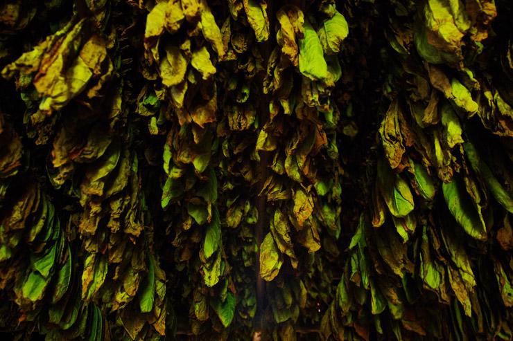 ビニャーレス渓谷のタバコ農園