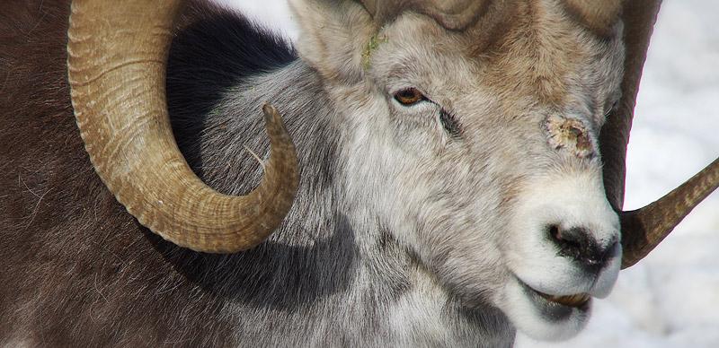 ユーコン野生動物保護区